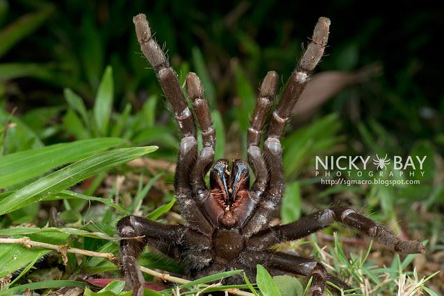 Tarantula (Theraphosidae) - DSC_1118