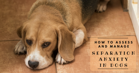 How to Assess and Manage Separation Anxiety in Dogs - TheDogTrainingSecret.com