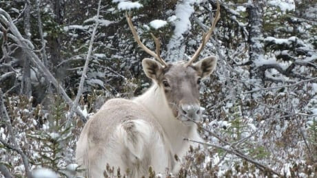 Tired of waiting on gov't, Indigenous groups sign their own agreement to protect Quebec caribou