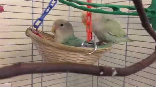 6 Fakta Unik Tentang Burung Lovebird Yang Perlu Anda Tahu