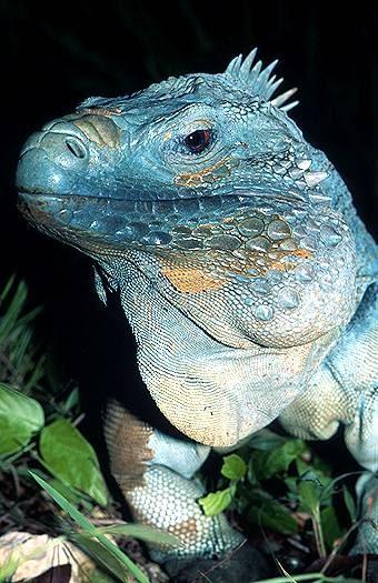 Unbelievable Wallpaper Hd Planetbye Blue Iguana