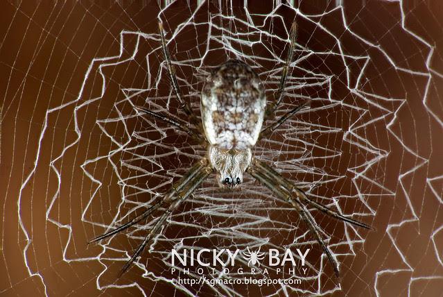 Orb Weaver Spider (Araneidae) - DSC_4383