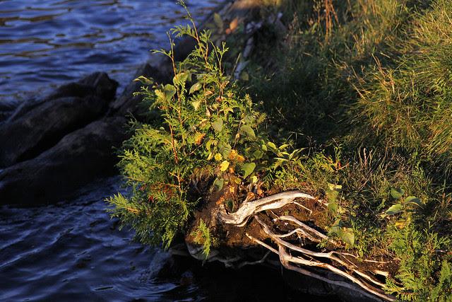 edgy cedar growth2