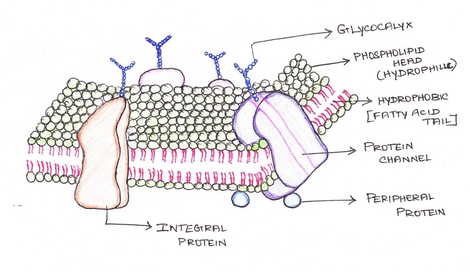 Cell Membrane Drawing Project at GetDrawings | Free download