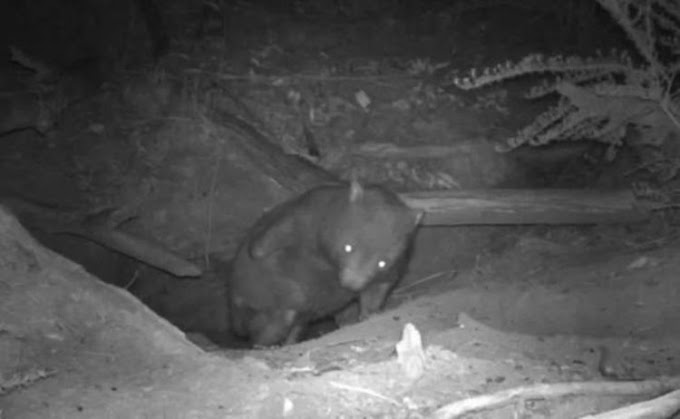 Una cámara oculta captura a tres animales de especies diferentes saliendo de la misma madriguera