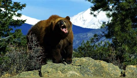 grizzly bear backgrounds wallpapersafari
