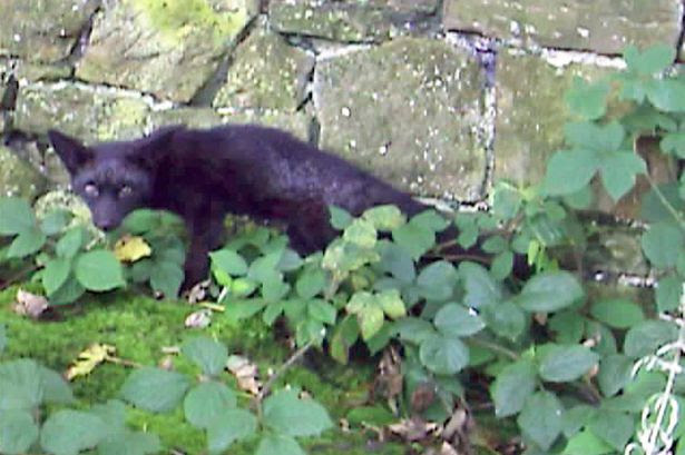 A black fox that was spotted in a Lancashire graveyard in 2008