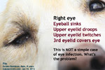 right eyelid twitching, droops, eyeball sunken, 3rd eyelid covers eye, fits, golden retriever, toapayohvets, singapore