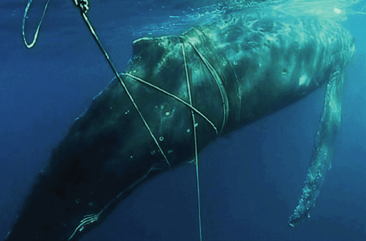 Video: Rescuers help 'distressed' 10m humpback whale entangled in nets at Bondi » Focusing on Wildlife