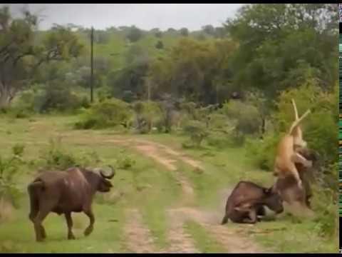 Buffalo killing a Lion