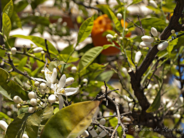 Flores de naranjo