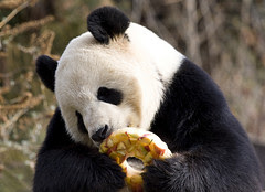 Tian Tian enjoys a fruitsicle