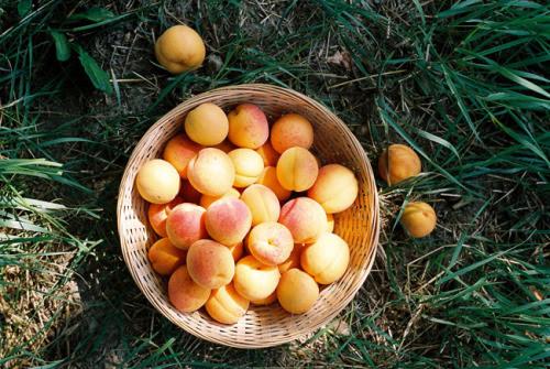 arunaea:apricot harvest (by mitošinkovie)