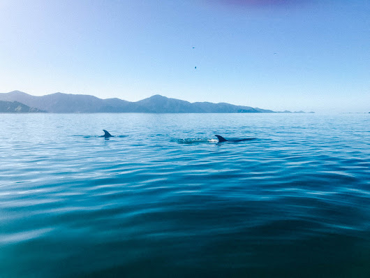 In den Marlborough Sounds mit Delfinen schwimmen * BUNTERwegs