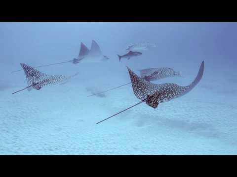 Scuba Diving with Spotted Eagle Rays in Cozumel Mexico