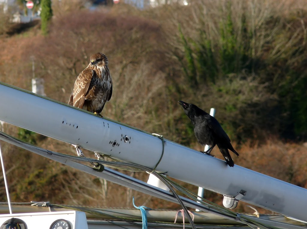 23855 - Buzzard and Crow, Fisghuard