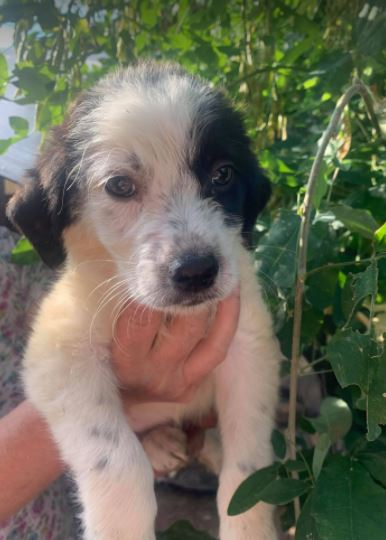 Denny – 2 month old male Cross-Breed