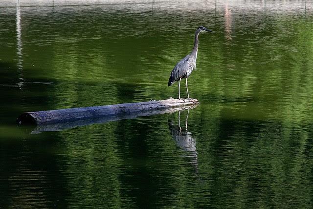 heron, laurelhurst pond