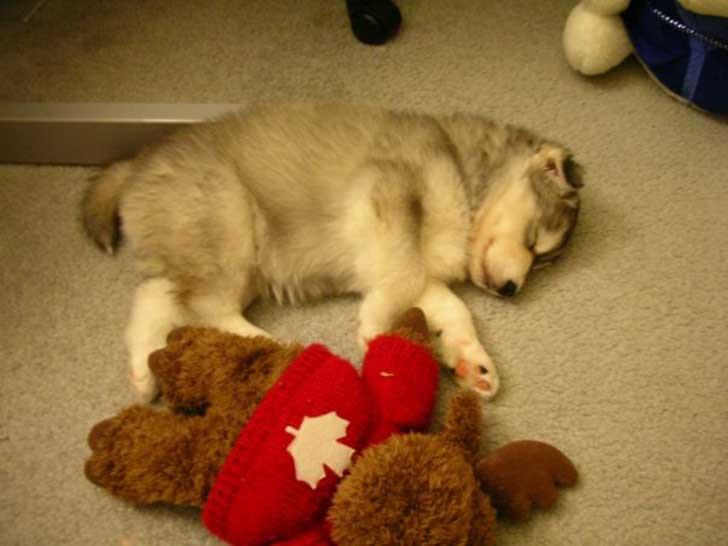 Este Husky fue criado por gatos y se comporta como tal
