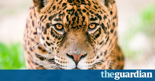 'Insane' camera trap video captures rare battle in the Amazon | Environment | The Guardian