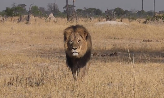Zimbabwean authorities hunt Spaniard accused of killing Cecil the lion