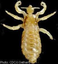 Adult male louse