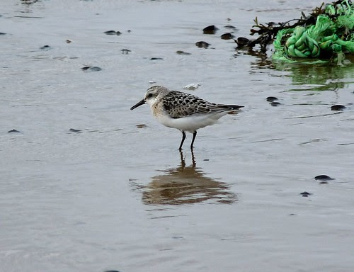 22451 - Sanderling, Kenfig NNR