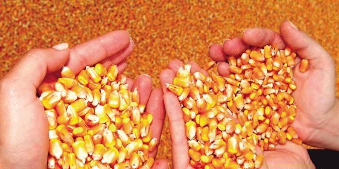 Conab oferta milho para o programa Vendas em Balcão no RN