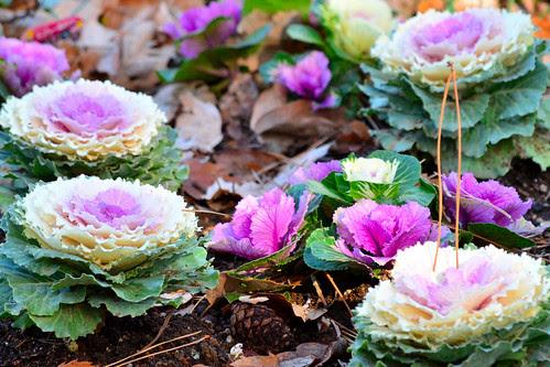 葉牡丹 (ornamental-cabbage)