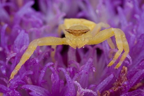 Gorgeous Crab Spider tropical spider (IMG_6643 copy)