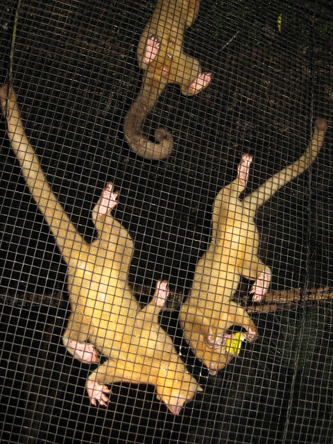 Kinkajous, The Belize Zoo | Flickr - Photo Sharing!