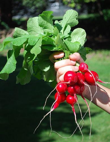 red radishes 1