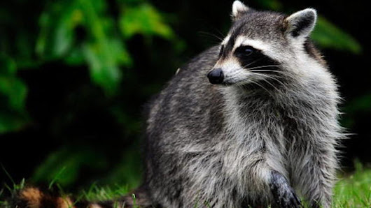 Raccoon believed to have attacked 83-year-old woman, dog, is captured