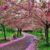 Wallpaper Desktop Bunga Sakura Terlengkap