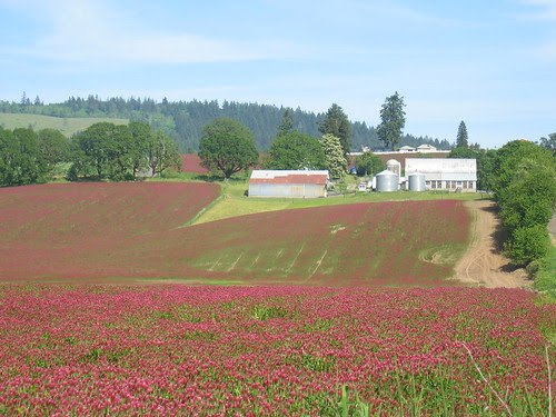 Red Clover and Barn on Fern Hill Rd