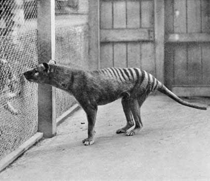 buidelwolf, tasmaanse tijger