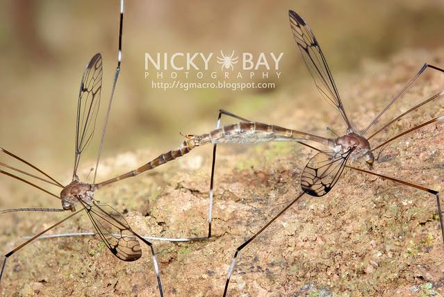 Crane Flies (Tipulidae) - DSC_4598