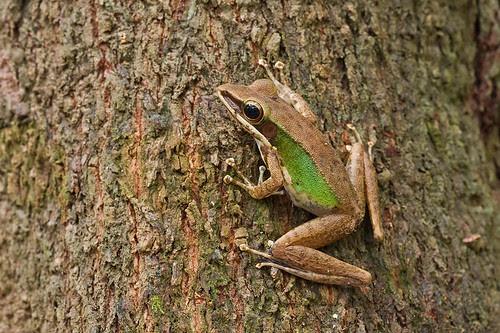 Poison Rock Frog, <i>Odorrana hossi </i>IMG_7905 copy