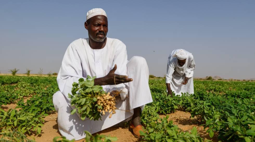 Un agricultor muestra su cosecha de cacahuete en Darfur, Sudán.