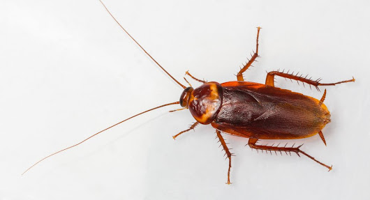 Get Rid of Roaches: Roach Control by West Termite
