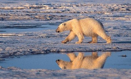 Polar bear, melting Arctic sea ice
