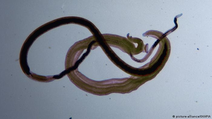 Würmer Pärchenegel Schistosoma (picture-alliance/OKAPIA)