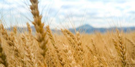 Montana Wheat and Barley Committee