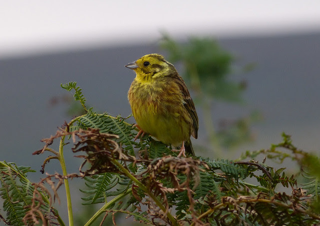 Yellowhammer, Bryn-bach-Common