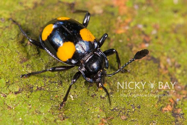 Fungus Beetle? - DSC_7219