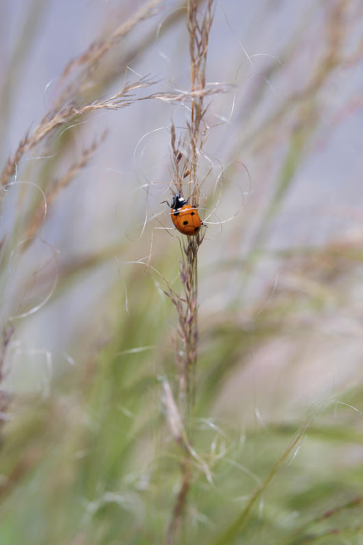 Ladybug On Tall Grasses Blowing In The Breeze by Barbara Rogers Nature Inspired Art Photography
