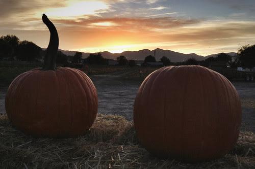 Twilight pumpkins Salt Lake City farm