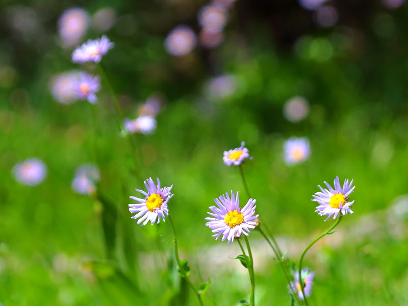 IMG_1593 Wildflowers, Sifford Lake/Kings Creek Falls Trail