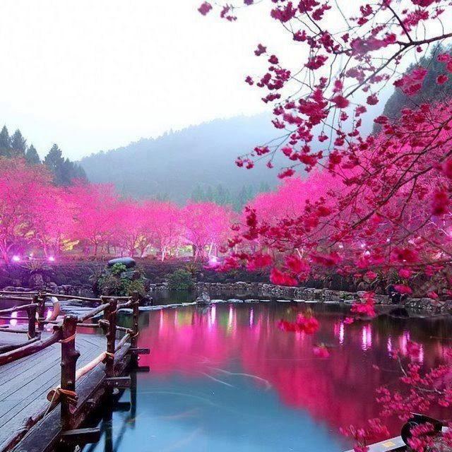 Cherry Blossom Lake - Sakura, Japan