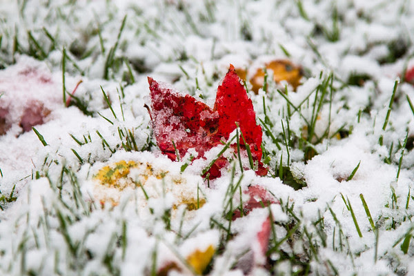 a bright red maple leaf sitting in early season snow